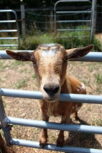 Pretty Lake Farm animals are excited to meet campers